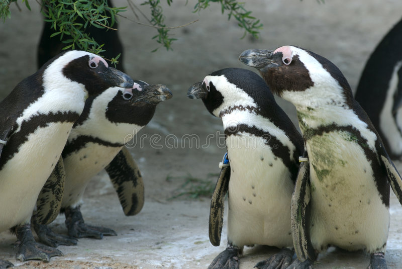Penguin συζήτηση Στοκ φωτογραφίες με δικαίωμα ελεύθερης χρήσης
