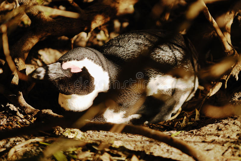 Download Penguin Royalty Free Stock Photo - Image: 11208445