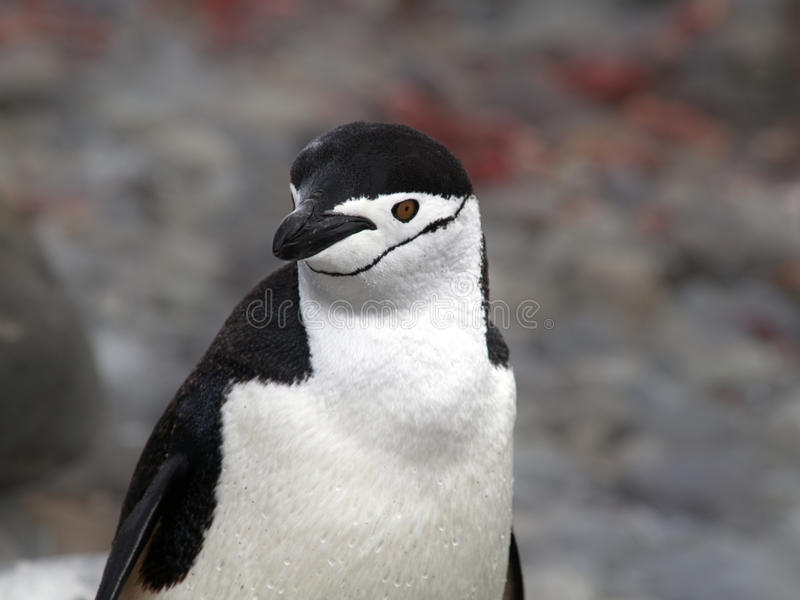 Download Penguin stock photo. Image of wildlife, polar, snow, chinstrap - 17875770
