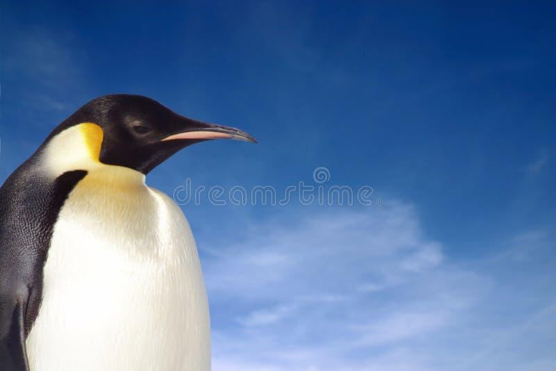 Penguin. Black and white penguin against brilliant blue sky stock photography
