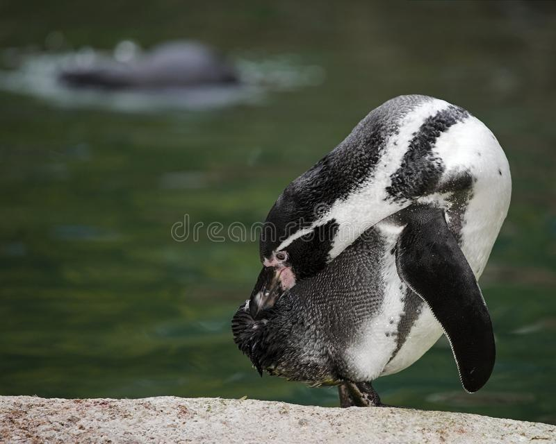 Download Penguin stock photo. Image of animal, penguin, beautiful - 26515990