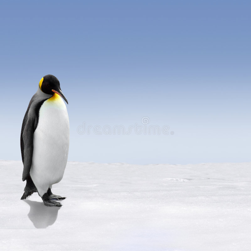 Penguin. A penguin standing on snow, clear blue sky as background stock photos
