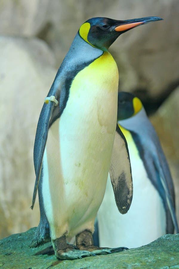 Download Penguin stock photo. Image of follow, bird, animal, leadership - 691972