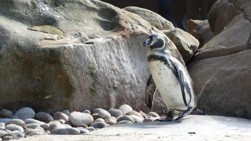 Penguin alone royalty free stock images