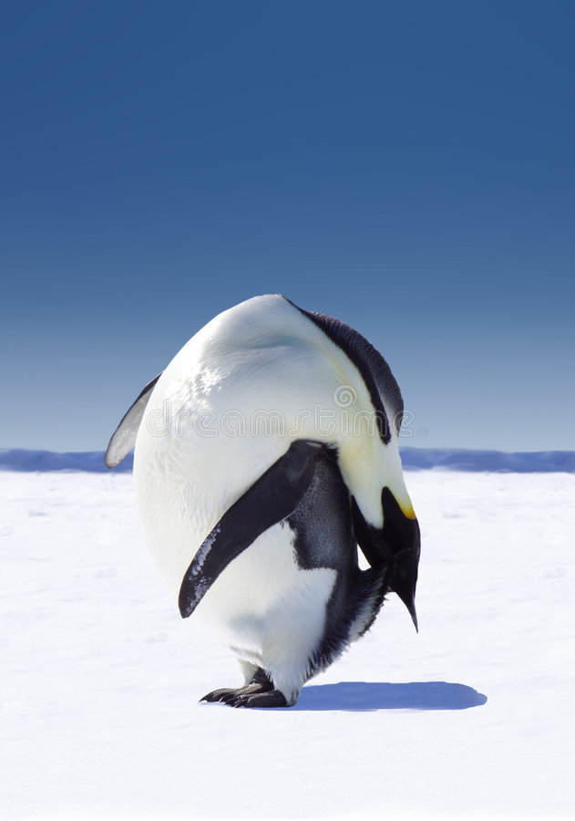 Penguin In Antarctica. Penguin bending backwards and almost touching the ground (snow), in Antarctica stock photo