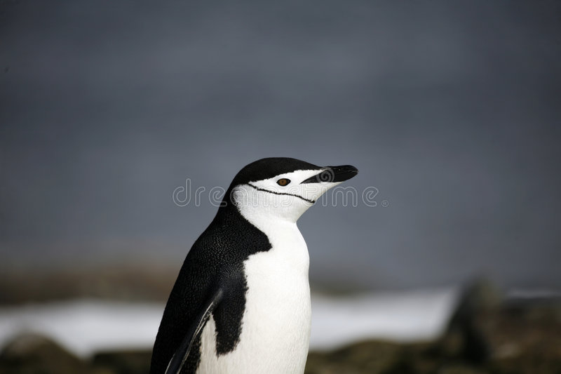 Penguin in Antarctica royalty free stock photos