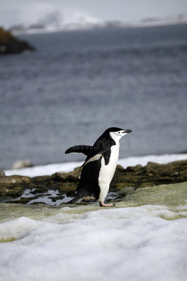 Download Penguin in Antarctica stock image. Image of tailcoat, pole - 9153839