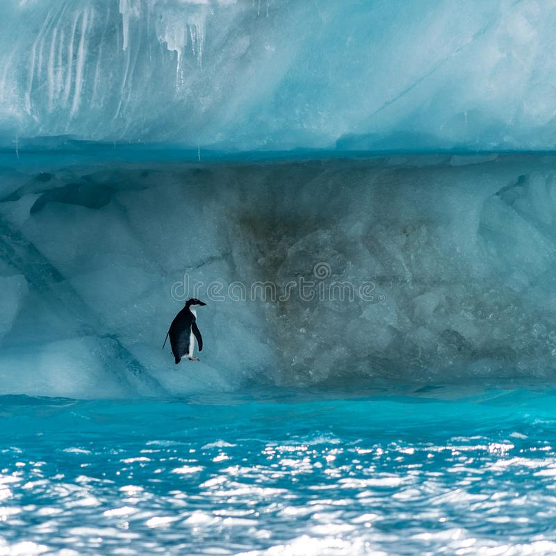 Penguin in Antarctica royalty free stock photography