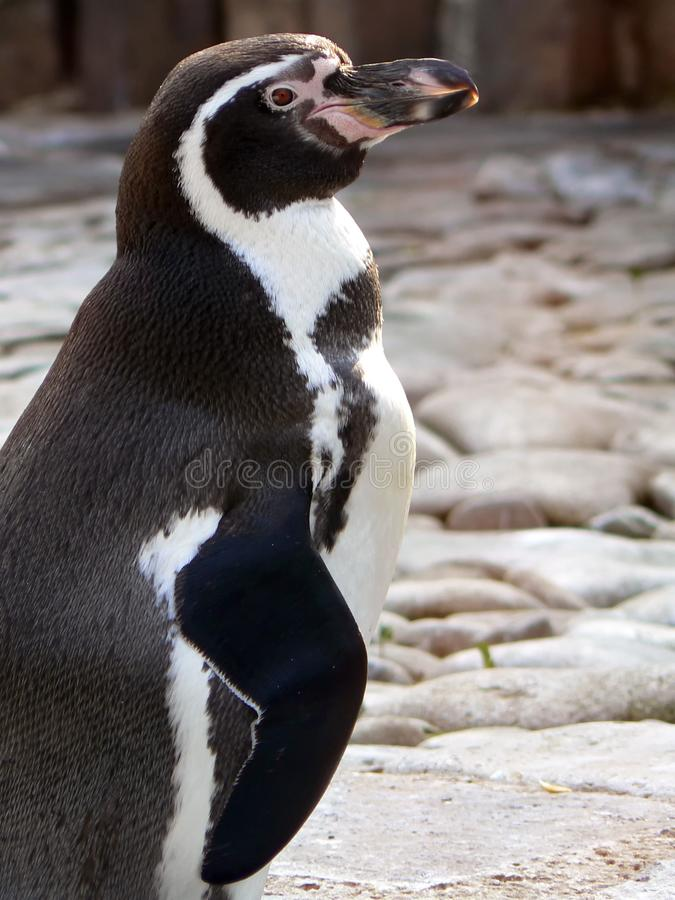 Penguin in antarctica from profile stock image