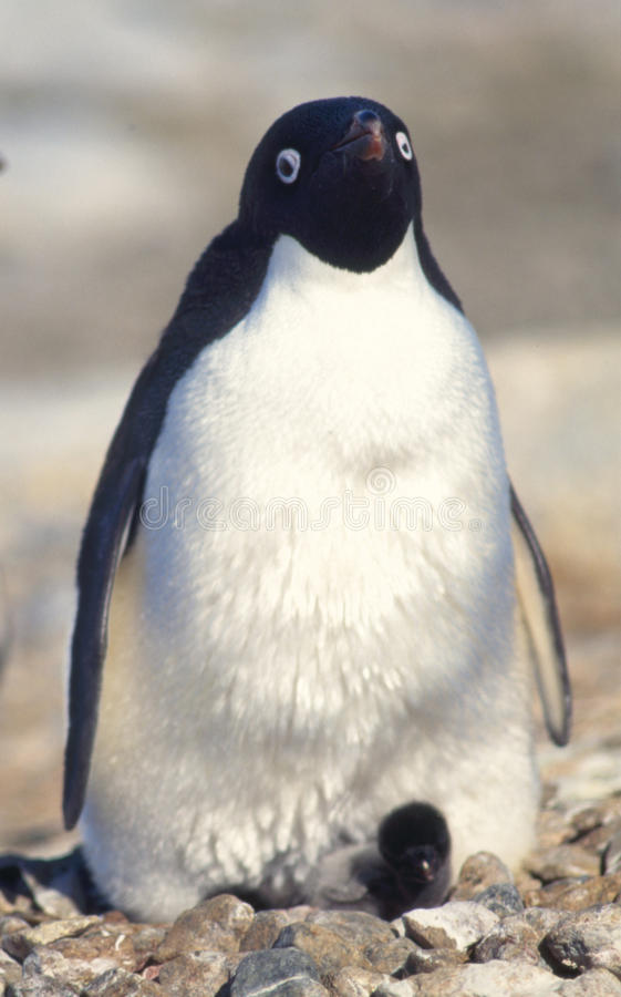 Penguin and Baby Chick. Adelie penguin with a very small chick stock photography