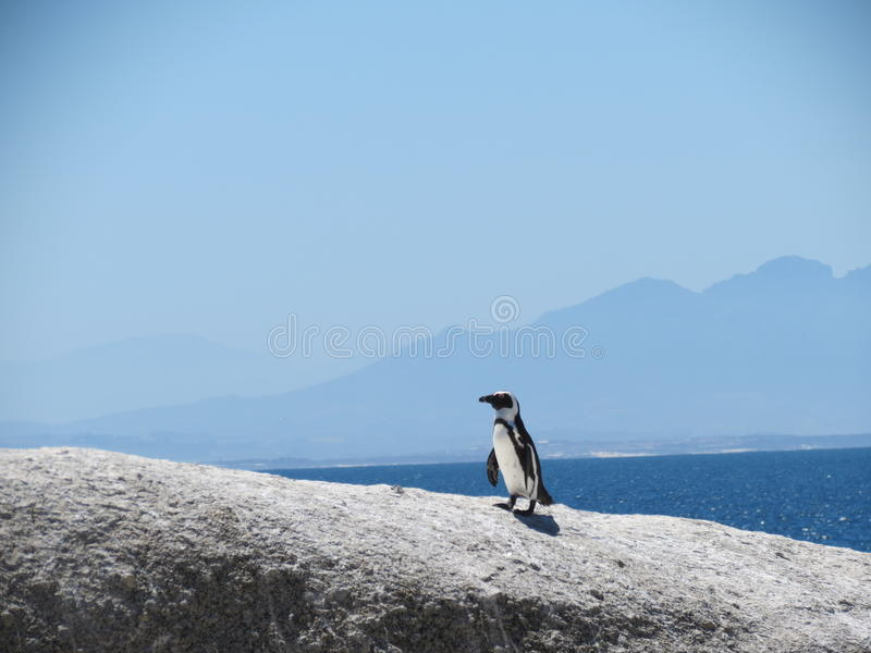 Penguin Boulders Beach South Africa royalty free stock photo