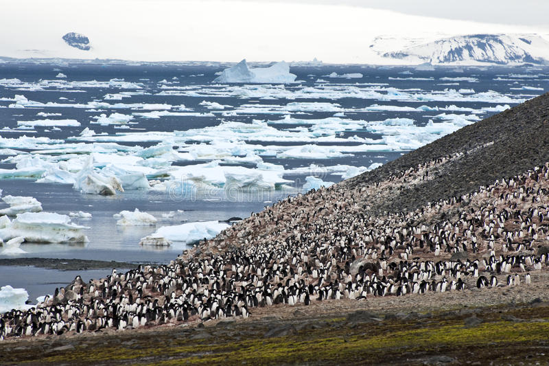 Penguin colony in Antarctica stock images