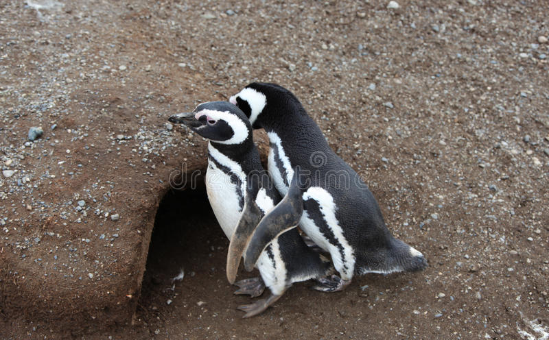 Penguin couple royalty free stock images