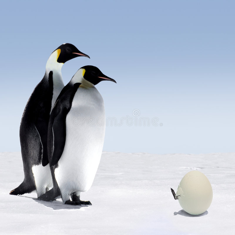 Penguin Family. Penguin Mother and Father are Watching a Penguin Baby Getting out of its Egg stock photography