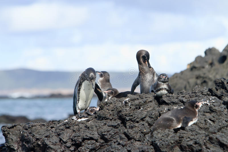 Download Penguin Family  In The Wild,  Galapagos Islands Stock Image - Image: 26861841