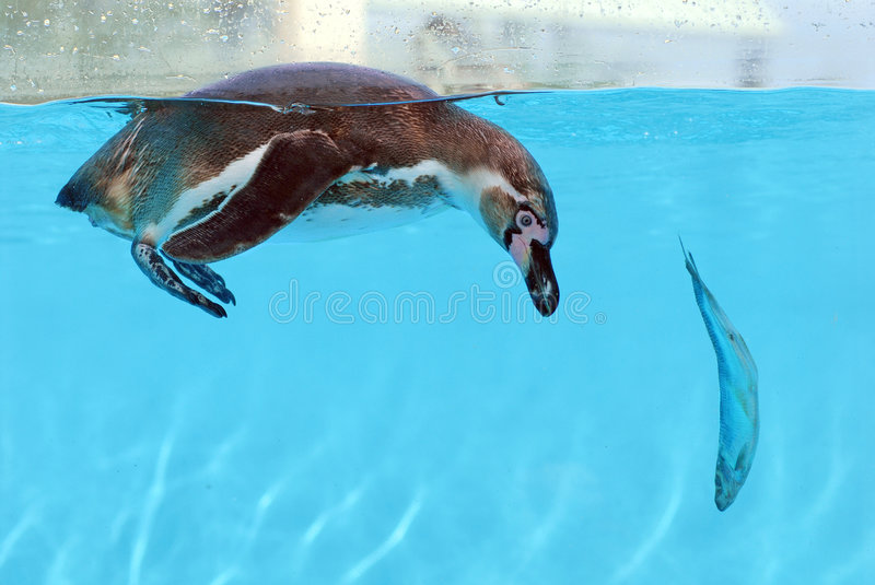 Penguin and fish stock image