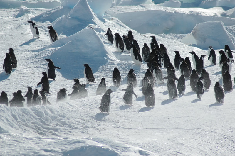 Penguin group. A group of about thirty Antarctic adelie penguins royalty free stock images