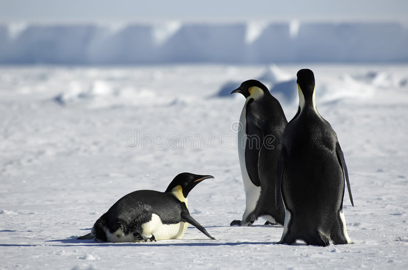 Penguin group in Antarctica royalty free stock image