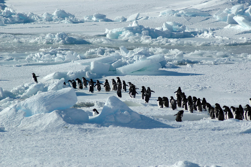 Penguin group leader. A group of about forty Antarctic Adelie penguins is led by one enthusiastic penguin on the left