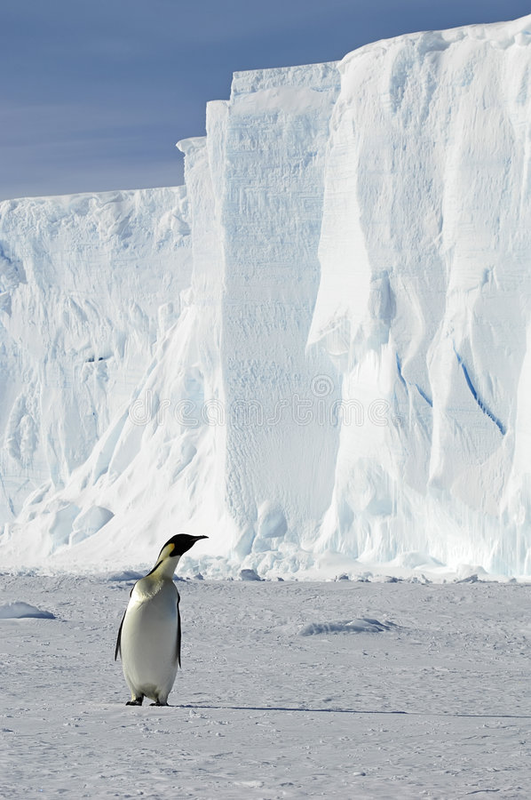 Penguin with iceberg royalty free stock photography