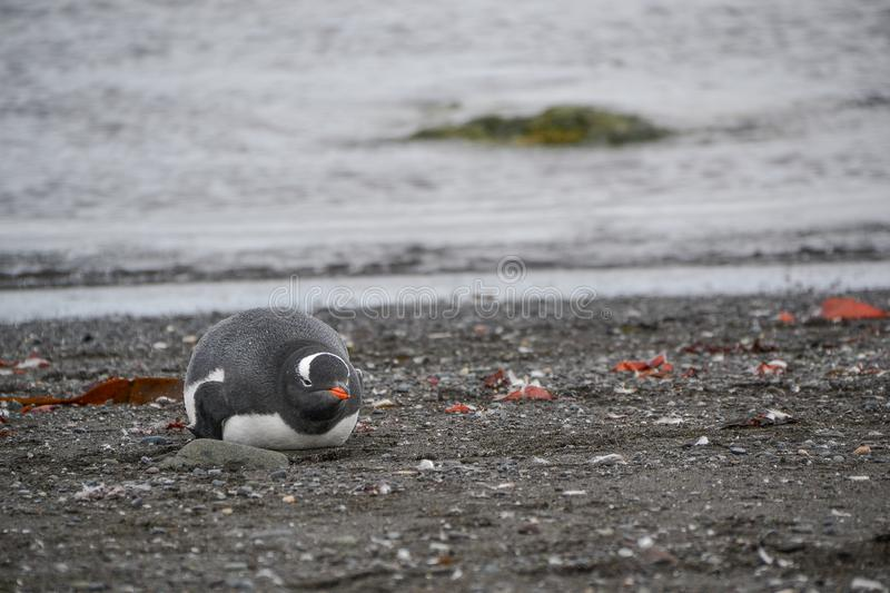 Penguin laying on the ground royalty free stock photo
