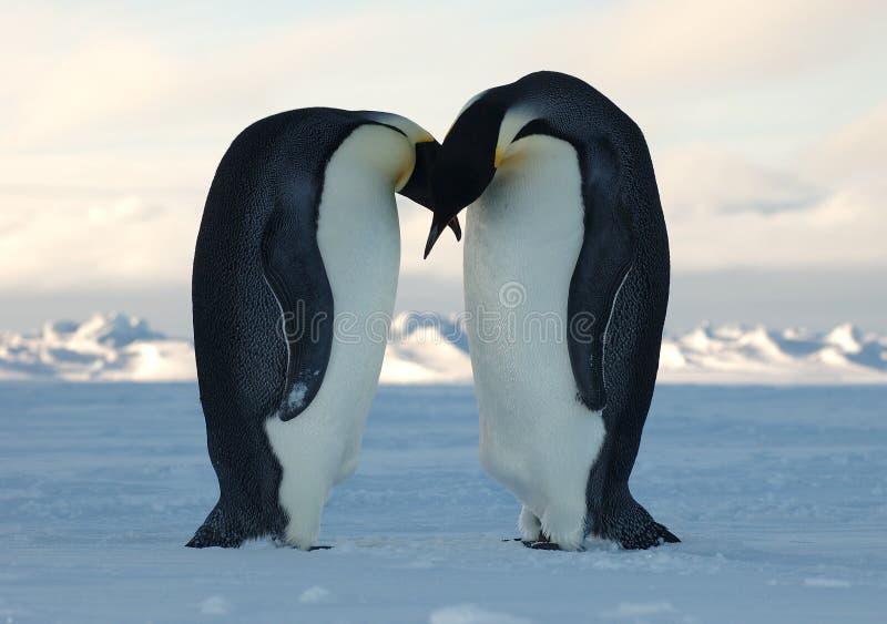 Penguin love royalty free stock photos