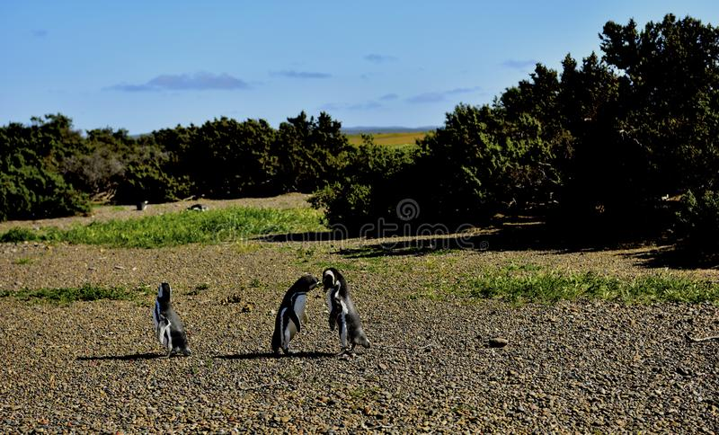 The Penguin in Love. The South American , South Atlantic, ocean,Argentina, Chubut Province, Valdez Peninsula, Península Valdés ,Nature Reserve royalty free stock photo