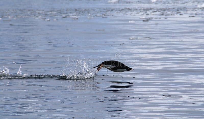 Flying Penguin royalty free stock photos