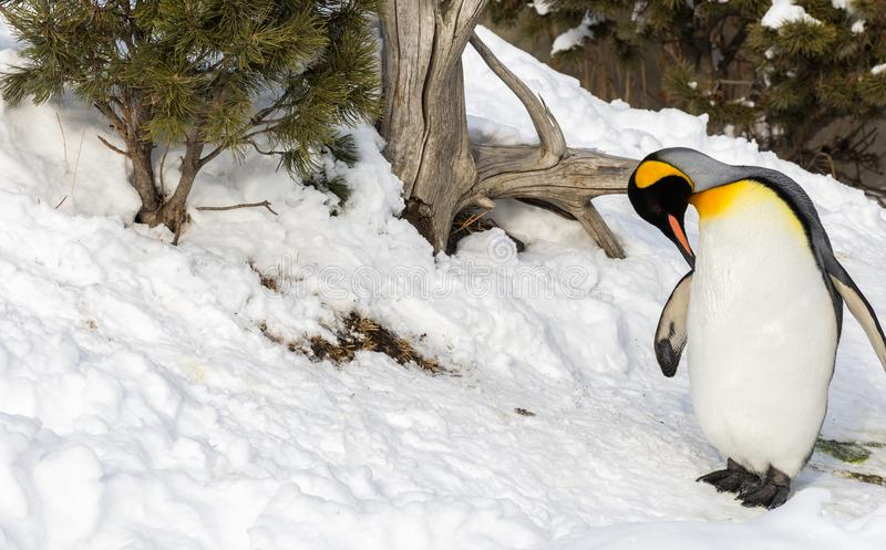 Penguin outside in snow cleaning itself royalty free stock image
