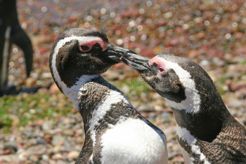 Download Penguin Pair Stock Photos - Image: 23900303