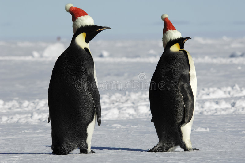 Penguin pair at Christmas day stock photography