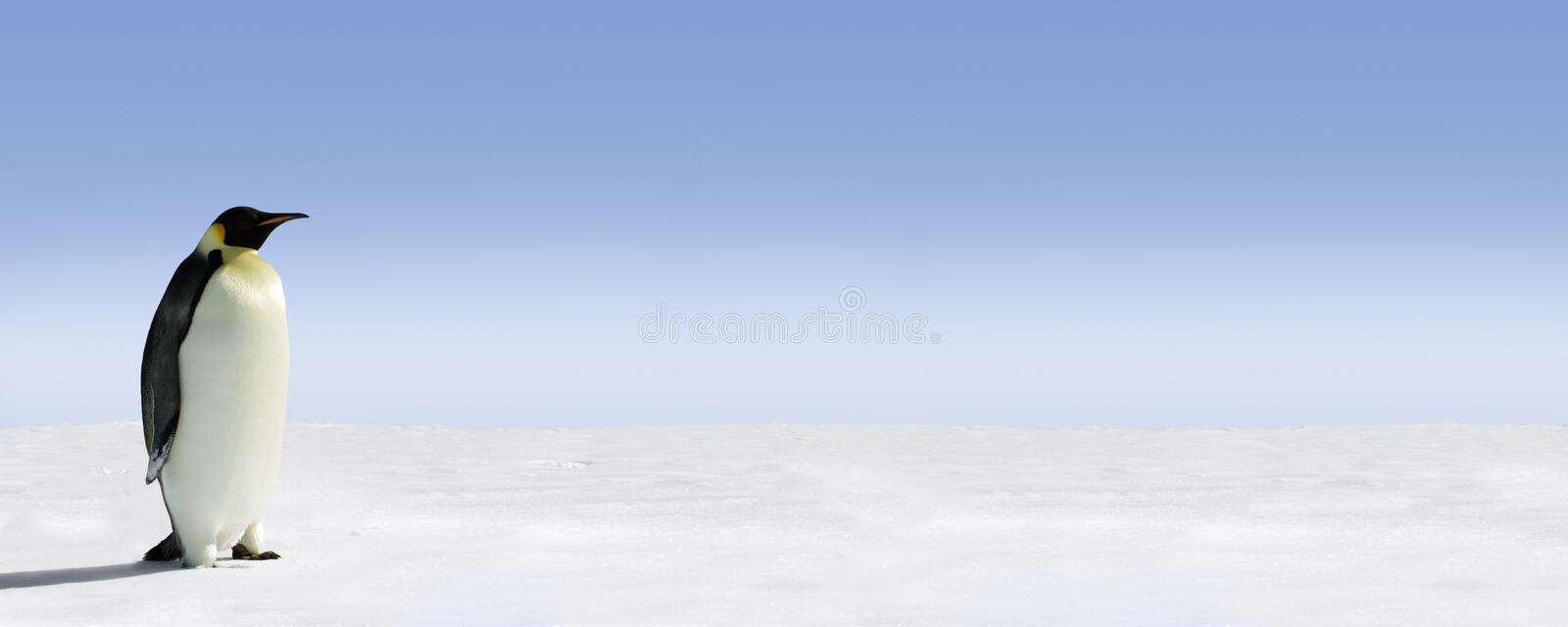 Penguin panorama. Panoramic image of a penguin standing on snow, blue sky in the background stock image