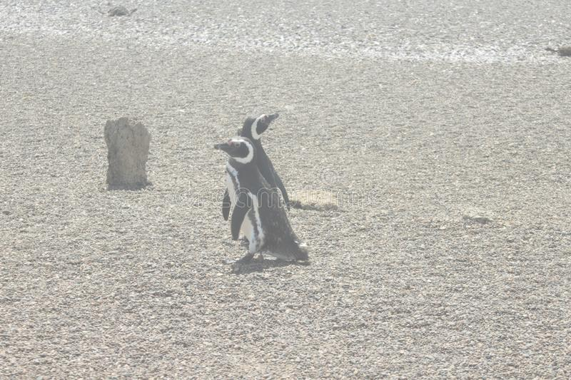 Penguin of magallanes at freedom playing seek and hide stock photography