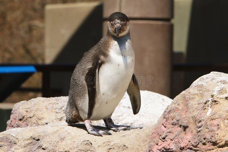 Download Penguin Power stock photo. Image of birds, polar, animal - 2397942