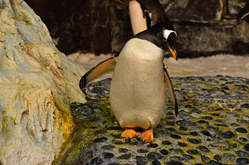 Penguin relaxing in Antarctica Empire of the penguins at Seaworld. Orlando, Florida. September 21, 2018. Penguin relaxing in Antarctica Empire of the penguins royalty free stock image