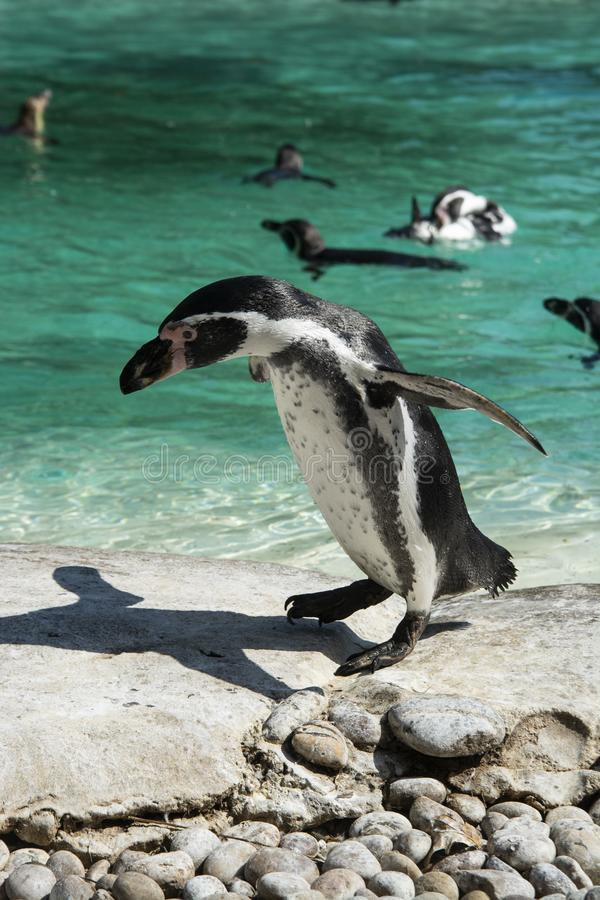 Penguin on a rock isolated. Little penguin isolated. Penguin on a rock isolated. Little cute penguin isolated, stone, water, beach, summer, nature, winter stock photography