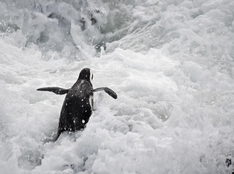 Download Penguin in rough sea stock photo. Image of shore, penguin - 12311962