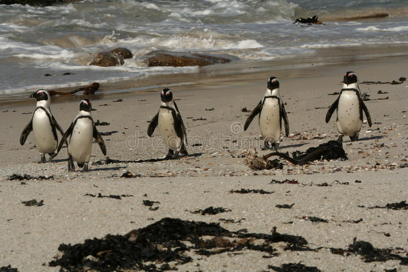 Penguin's on the beach royalty free stock photo