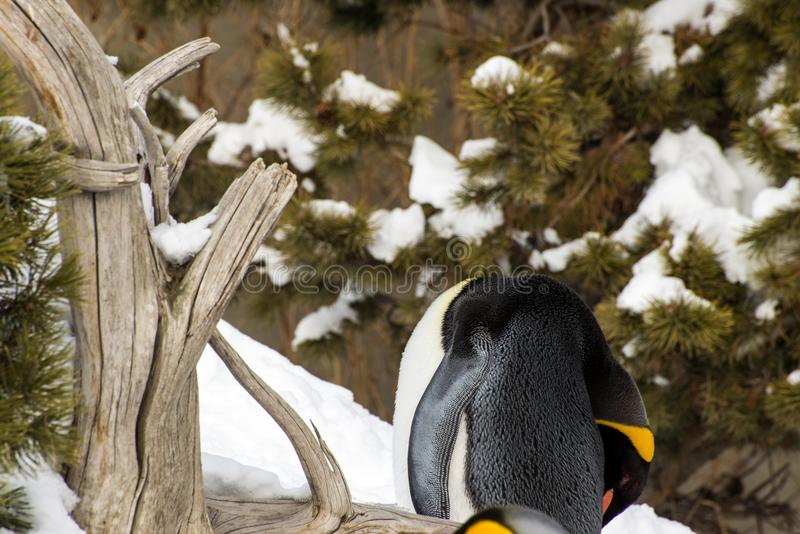 Penguin sleeping outside in the snow standing up stock photography