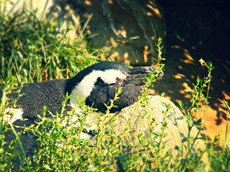 Penguin sleeping stock photos