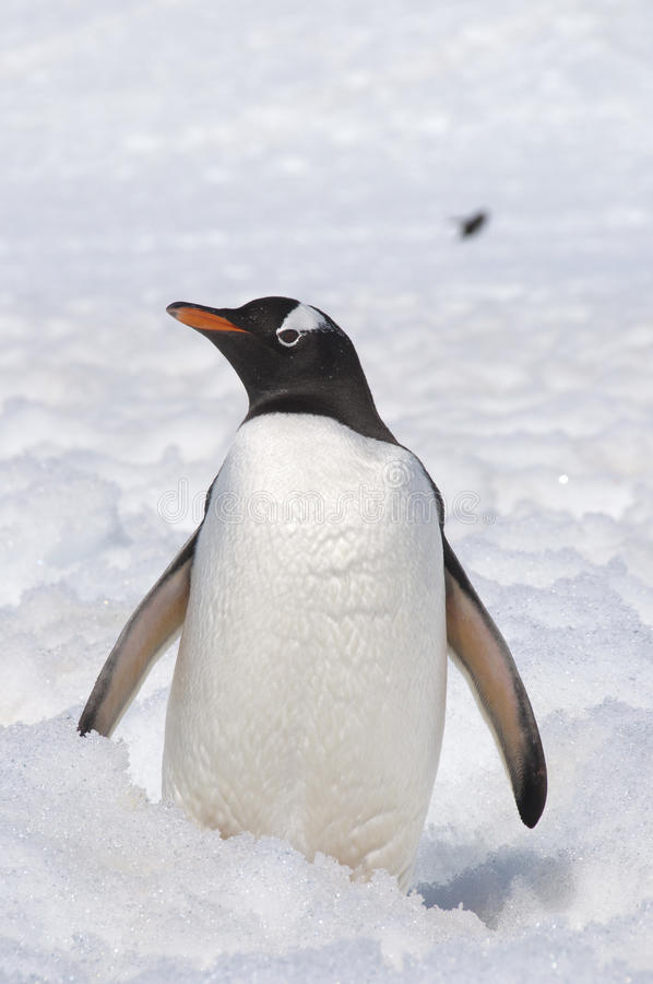 Penguin on the snow stock photography