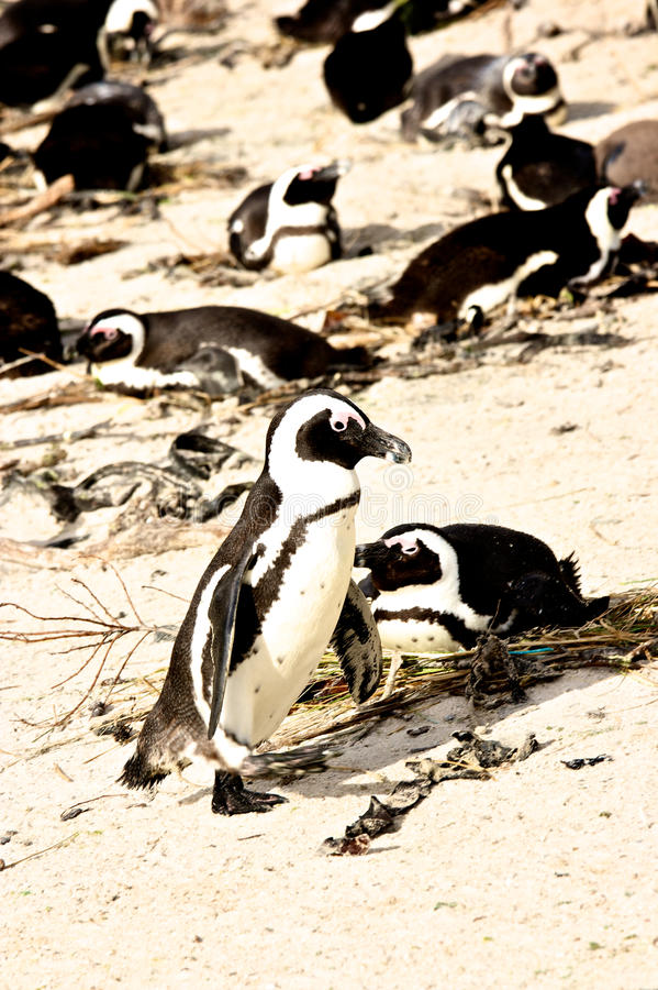 Download Penguin in South Africa stock image. Image of destination - 21162027
