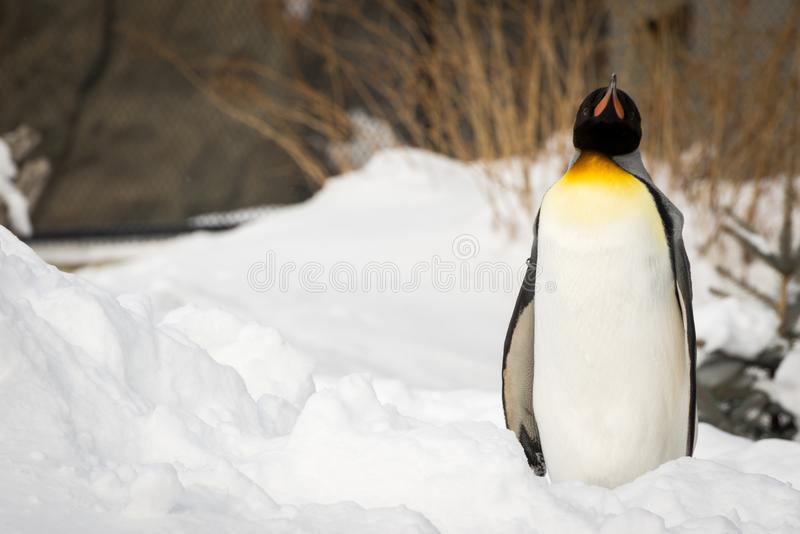 Penguin standing outside in the snow royalty free stock photos