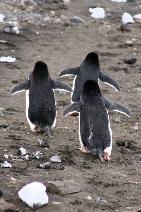 The Penguin Strut royalty free stock image
