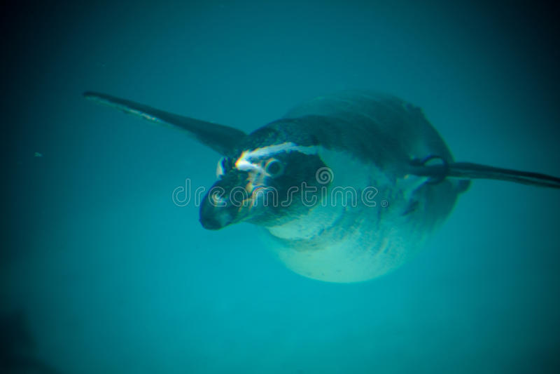 Penguin swimming royalty free stock image