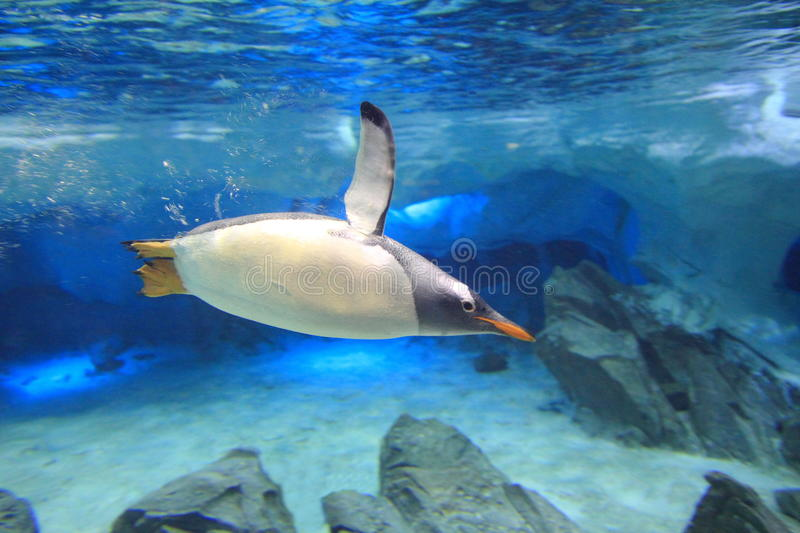 Penguin underwater in sea cave scenery. A Gentoo penguin dives underwater in its sanctuary - a sea cave replication stock photo