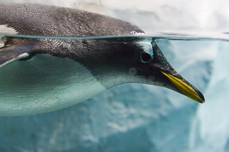 Penguin In Water Royalty Free Stock Photo