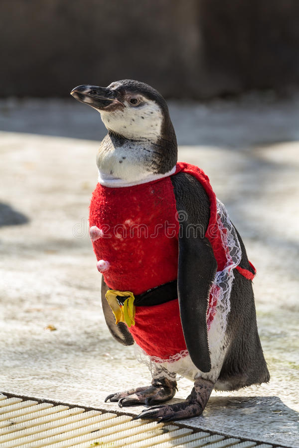 Penguin. Wearing a red dress at the zoo stock photos