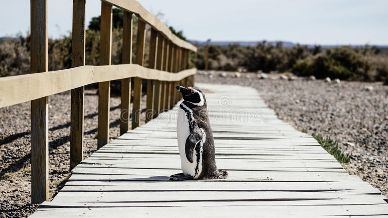 Penguin On Wooden Dock During Daytime Free Public Domain Cc0 Image