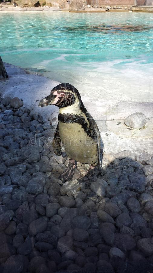 Penguin in Zoo. Penguins order Sphenisciformes, family Spheniscidae are a group of aquatic flightless birds. They live almost exclusively in the Southern stock photography